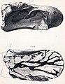Chondrosteosaurus.jpg
