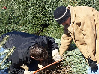 """Christmas tree cultivation - Customers, armed with a saw, at a typical """"choose-and-cut"""" Christmas tree farm"""