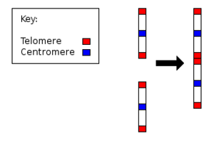 Chromosome 2 (human) - Fusion of ancestral chromosomes left distinctive remnants of telomeres, and a vestigial centromere