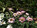 Chrysanthemum from Lalbagh flower show Aug 2013 8350.JPG