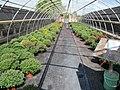Chrysanthemums (6167206175).jpg