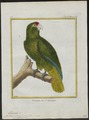Chrysotis vittata - 1700-1880 - Print - Iconographia Zoologica - Special Collections University of Amsterdam - UBA01 IZ18600133.tif