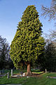 Church of St Mary Theydon Bois Essex England - WWII memorial tree.jpg