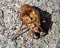 Cicada moult 03.jpg