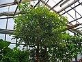Cinnamomum camphora 001.JPG