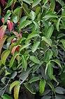 Cinnamomum verum - Murshidabad 2014-11-29 0200.JPG