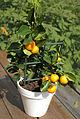Citrus fuits.jpg