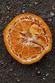 Citrus reticulata-Cleopatra IMG 2581.JPG