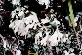 Cladonia - Image: Cladonia apodocarpa (EU)
