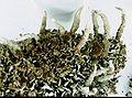 Cladonia coniocraea-5.jpg