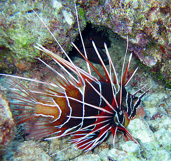 Pterois radiata is endemic to the Indian Ocean...