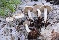 Clitocybe glacialis Redhead, Ammirati, Norvell & M.T. Seidl 333312 crop.jpg