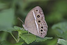 Close wing basking of Mycalesis mineus Linnaeus, 1758 – Dark-branded Bushbrown W7118.jpg