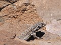 Closeup on summit lizard (4320887210).jpg
