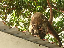 White-nosed Coati Nasua narica