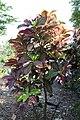 Codiaeum variegatum 18zz.jpg