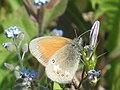 Coenonympha glycerion - Chestnut heath - Сенница луговая (40451968724).jpg