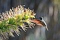 Colibrí Berilo, Berylline Hummingbird, Amazilia beryllina (19996214332).jpg