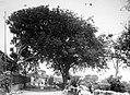 Collectie Nationaal Museum van Wereldculturen TM-10021215 St Eustatius. Tamarinde en Knippenboom bij het huis van de fam. Hill Sint Eustatius fotograaf niet bekend.jpg