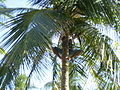 Collecting coconuts in Cayo Largo, Cuba.jpg