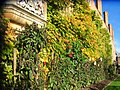 Colourful creeper - geograph.org.uk - 1066403.jpg