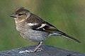 Common Chaffinch (Fringilla coelebs) - Oslo, Norway (02).jpg