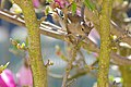 Common Chaffinch (Fringilla coelebs) female (17211040691).jpg