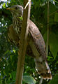 Common Hawk Cuckoo (Hierococcyx varius) in Madhurawada.jpg