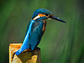 Common Kingfisher, Alcedo atthis, Eisvogel.jpg