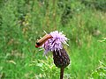 Common Red Soldier Beetle on a thistle - geograph.org.uk - 885393.jpg