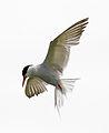 Common Tern 3 (5973668141).jpg