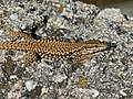 Common Wall Lizard (Podarcis muralis) male (14425346314).jpg