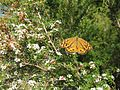 Common brown butterfly on manuka (5359473847).jpg