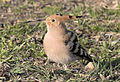 Common hoopoe - Upupa epops 02.jpg