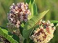 Common milkweed (Asclepias syriaca).JPG