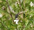 Conops quadrifasciatus female (36609136072).jpg