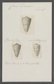 Conus daucus - - Print - Iconographia Zoologica - Special Collections University of Amsterdam - UBAINV0274 087 01 0003.tif