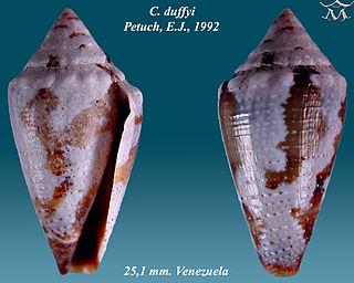 <i>Conus duffyi</i> species of mollusc