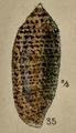Conus nussatella 002.png