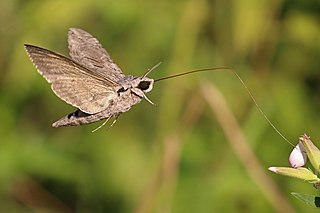 Sphingidae family of insects (moths)