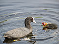 Coot, with young (14379098512).jpg