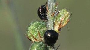 File:Coptosoma scutellatum on Onobrychis.ogv