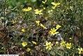 Coreopsis verticillata Moonbeam 3zz.jpg