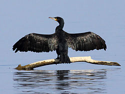 Cormorant (Phalacrocorax carbo) (14).JPG
