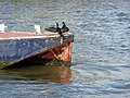 Cormorant (Phalacrocorax carbo) - geograph.org.uk - 1702283.jpg