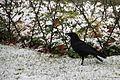 Corneille neige Annecy 2.JPG