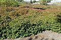 Cornus sericea 'Kelseyi' kz3.jpg