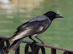 Corvus cornix in Locarno.jpg