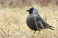 Corvus monedula 02.jpg