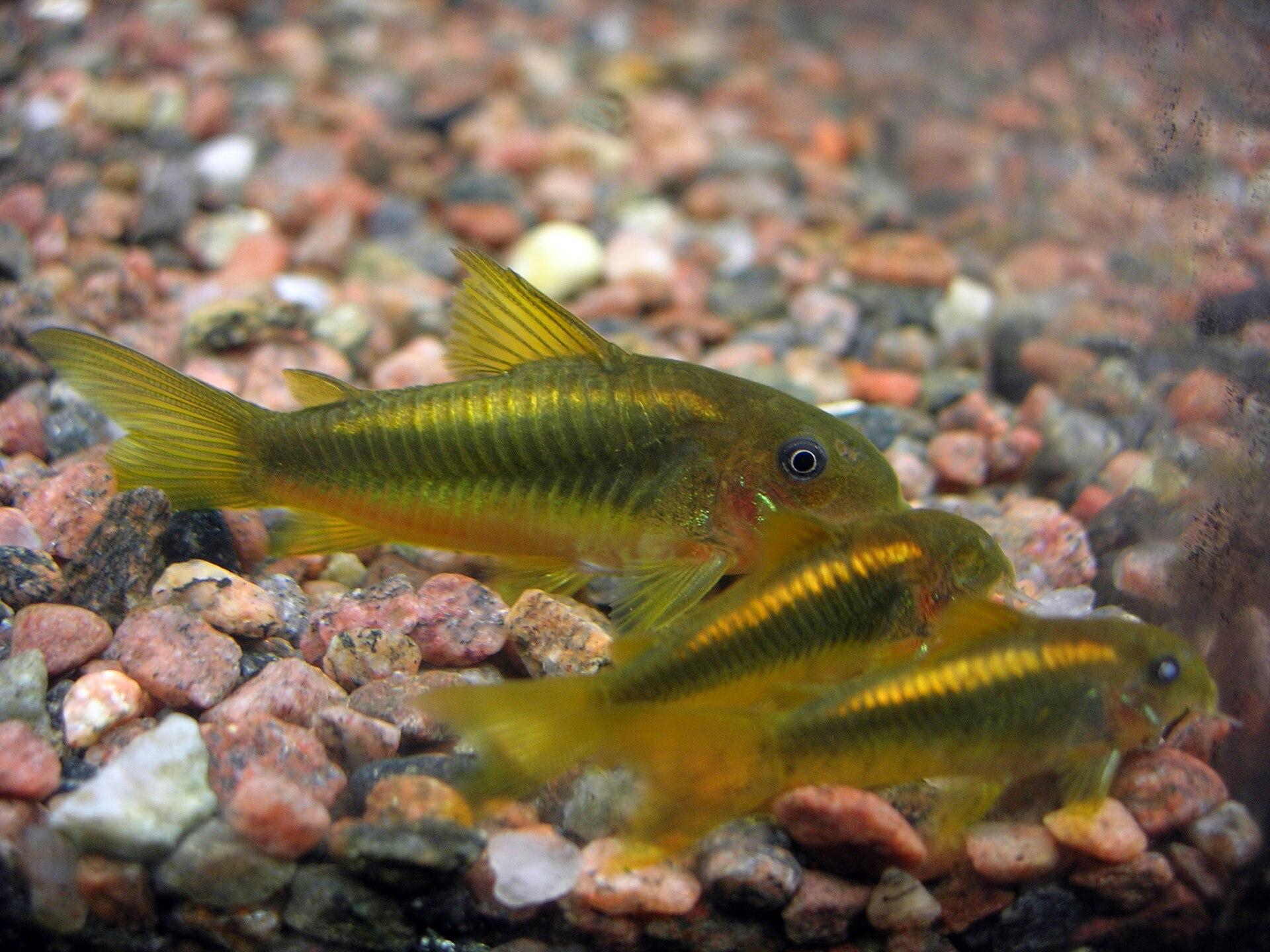 Cory Cat Fish Eggs Getting Eaten By Angelfish